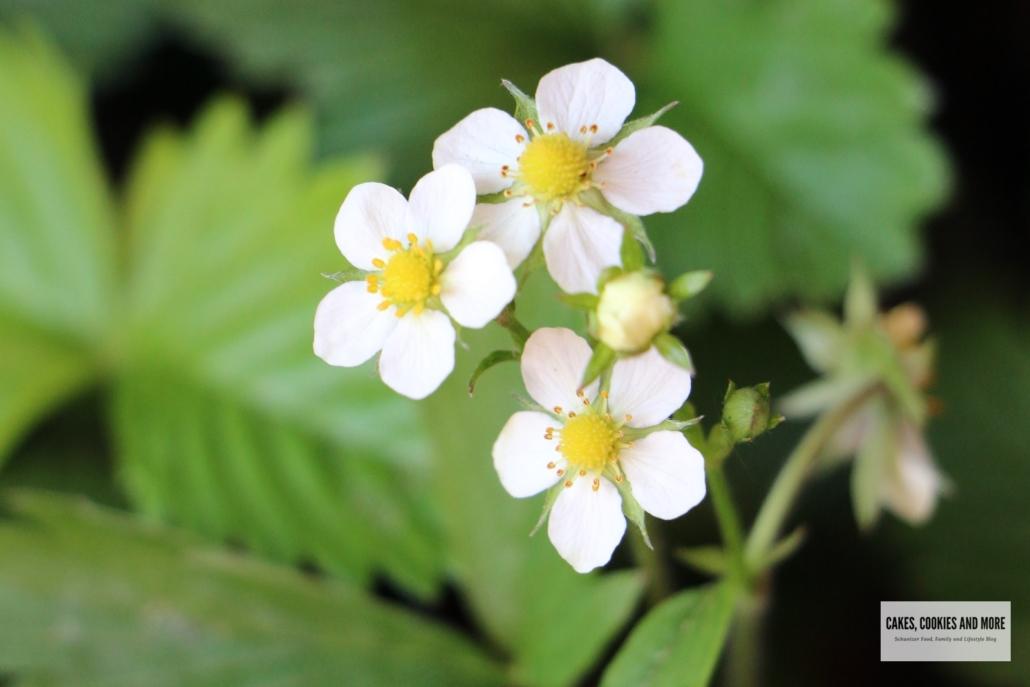 Blüten von Walderdbeeren